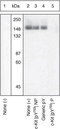 Phospho-c-Kit (Tyr703) Antibody (44-492) in Western Blot