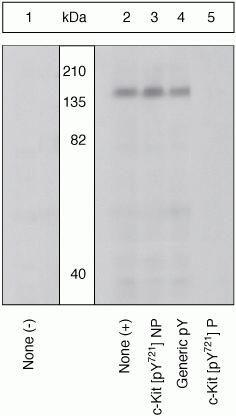 Phospho-c-Kit (Tyr721) Antibody (44-494G) in Western Blot