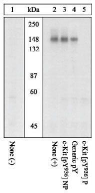 Phospho-c-Kit (Tyr936) Antibody (44-500G) in Western Blot
