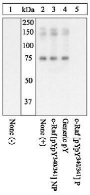 Phospho-c-Raf pTyr340 / pTyr341 Antibody (44-506G)