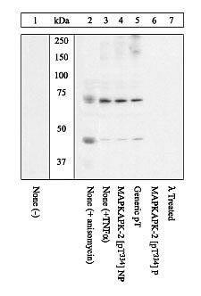 Phospho-MAPKAPK2 (Thr334) Antibody (44-516G)