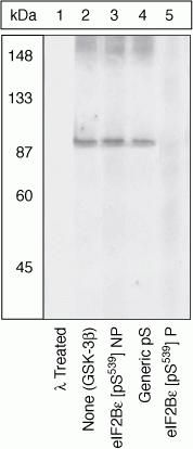 Phospho-eIF2b epsilon (Ser539) Antibody (44-530G)
