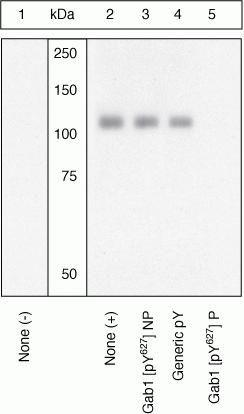 Phospho-GAB1 (Tyr627) Antibody (44-568G) in Western Blot