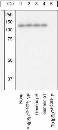 Phospho-Rb (Ser249, Thr252) Antibody (44-584G) in Western Blot