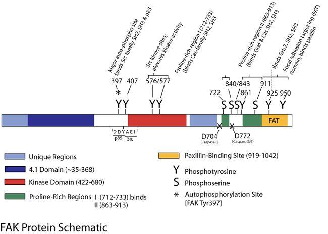 Phospho-FAK (Tyr577) Antibody (44-614G) in
