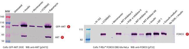 Phospho-AKT1 (Ser473) Antibody (44-621G) in Western Blot