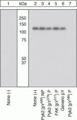 Phospho-FAK2 (Tyr580) Antibody (44-634G)