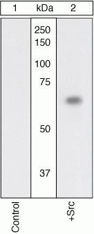SRC Antibody (44-656G)