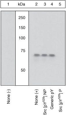 Phospho-SRC (Tyr529) Antibody (44-662G) in Western Blot