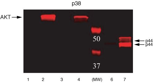 Phospho-ERK1/ERK2 (Thr185, Tyr187) Antibody (44-680G) in Western Blot