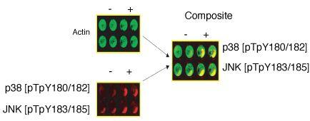 Phospho-p38 MAPK alpha (Thr180, Tyr182) Polyclonal Antibody