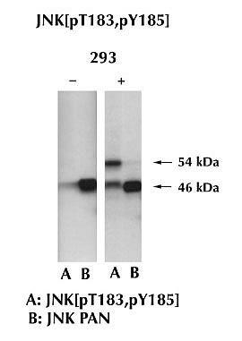 JNK1 Antibody (44-690G) in Western Blot