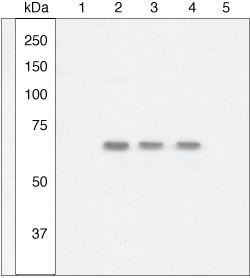 Phospho-NFkB p65 (Ser529) Antibody (44-711G) in Western Blot