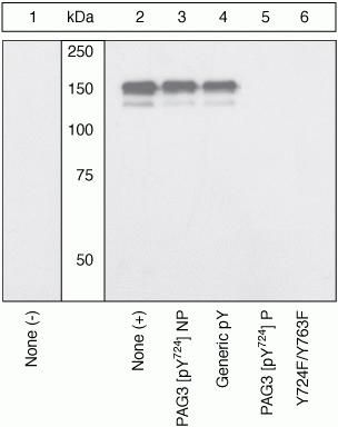 Phospho-PAG3 (Tyr724) Antibody (44-716G) in Western Blot