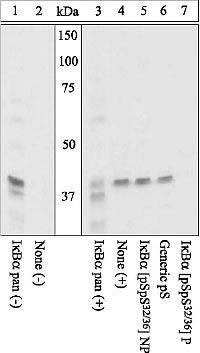 Phospho-IkB alpha (Ser32, Ser36) Antibody (44-726G) in Western Blot