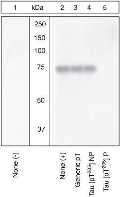 Phospho-Tau (Thr205) Antibody (44-738G)