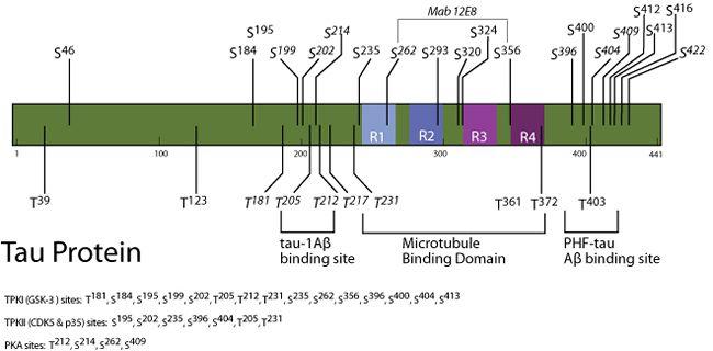Phospho-Tau (Thr212) Antibody (44-740G)