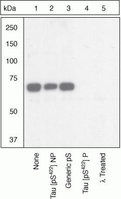 Phospho-Tau (Ser422) Antibody (44-764G) in Western Blot