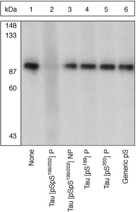 Phospho-Tau (Ser199, Ser202) Antibody (44-768G) in Western Blot