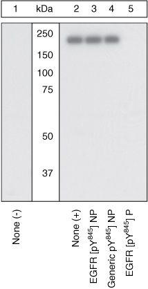 Phospho-EGFR (Tyr845) Antibody (44-784G) in Western Blot