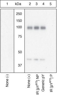 Phospho-INSR (Tyr972) Antibody (44-800G) in Western Blot