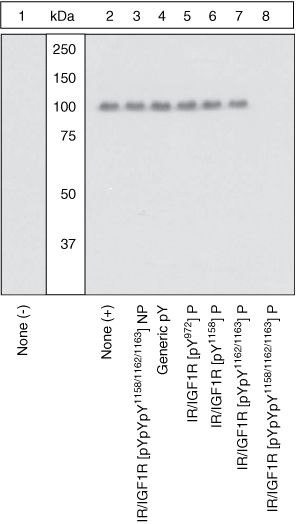 Phospho-IR/IGF1R (Tyr1158, Tyr1162, Tyr1163) Antibody (44-806G) in Western Blot
