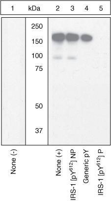 Phospho-IRS1 (Tyr612) Antibody (44-816G) in Western Blot