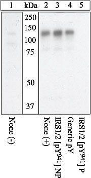 Phospho-IRS1 (Tyr941) Antibody (44-820G)