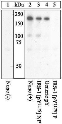 Phospho-IRS1 pTyr1179 Antibody (44-822G)