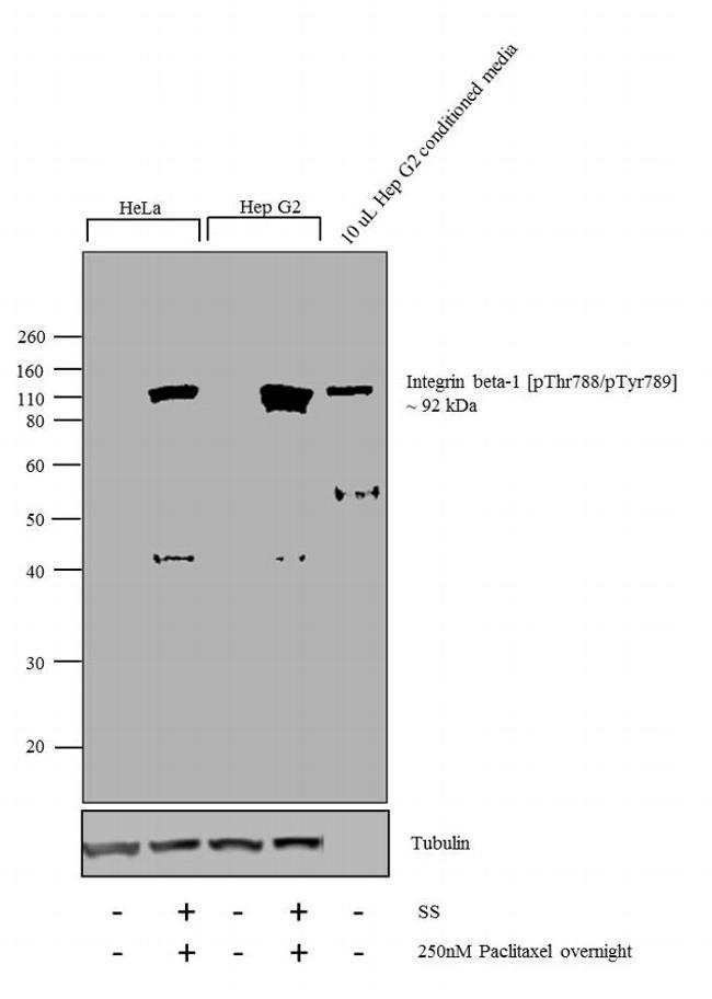 Phospho-ITGB1 (Thr788, Tyr789) Antibody (44-872G) in Western Blot