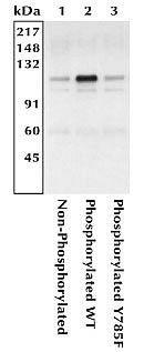 Phospho-CD61 (Tyr785) Antibody (44-878) in Immunoprecipitation
