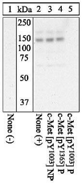 Phospho-c-Met (Tyr1003) Antibody (44-882G) in Western Blot