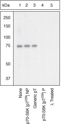 Phospho-p70 S6 Kinase (Thr229) Antibody (44-918G) in Western Blot