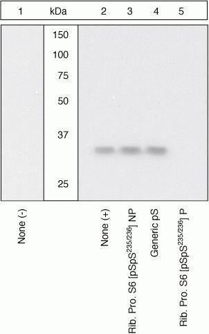 Phospho-S6 (Ser235, Ser236) Antibody (44-922G) in Western Blot