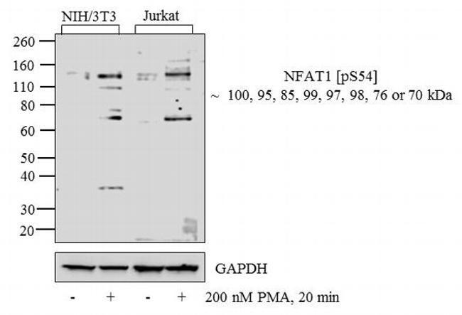 Phospho-NFATC2 (Ser54) Antibody (44-944G) in Western Blot