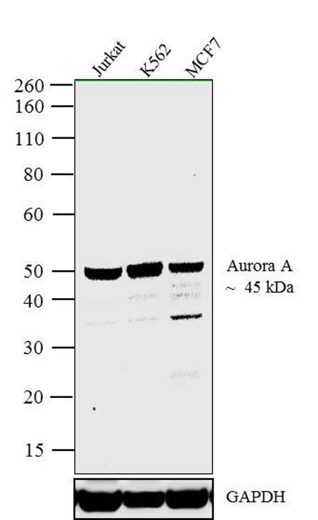 Aurora A Antibody (45-8900) in Western Blot