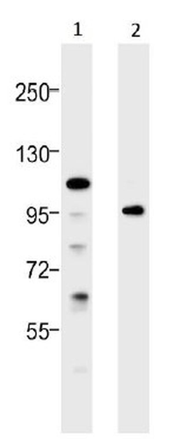 TLR4 Antibody (48-2300) in Western Blot