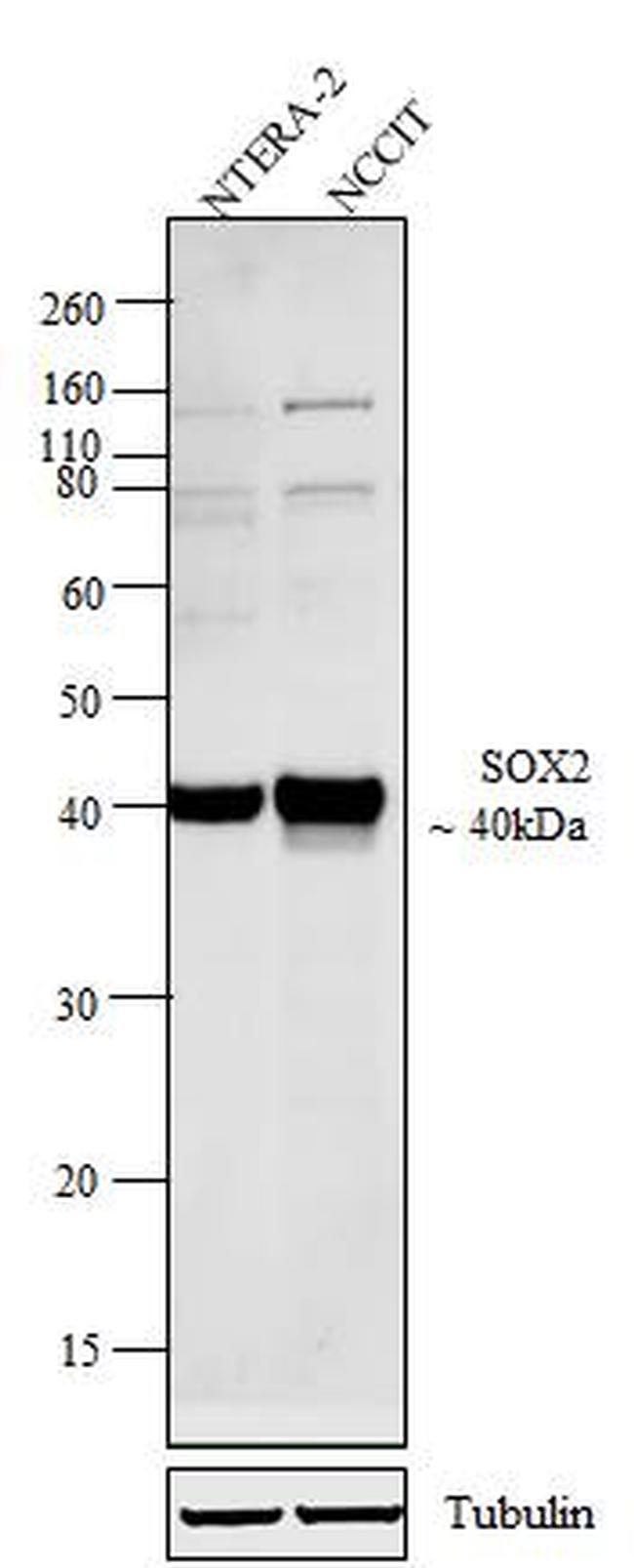 SOX2 Antibody (48-1400) in Western Blot
