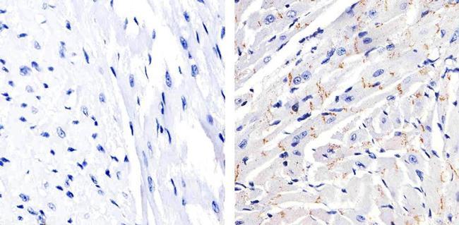 Phospho-Connexin 43 (Ser368) Antibody (48-3000) in Immunohistochemistry (Paraffin)
