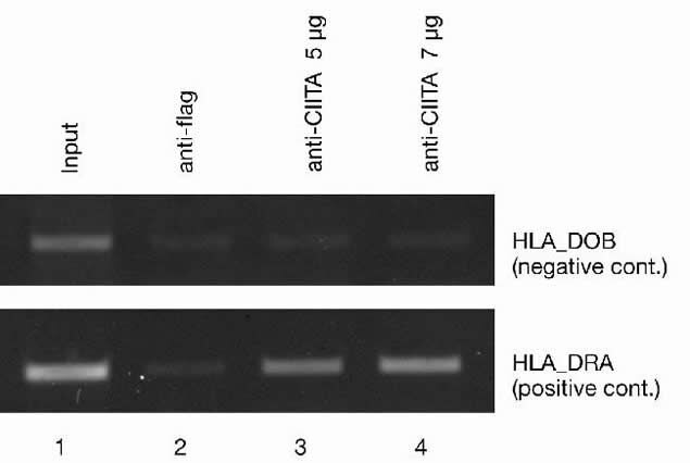 CIITA Antibody (49-1001) in ChIP assay