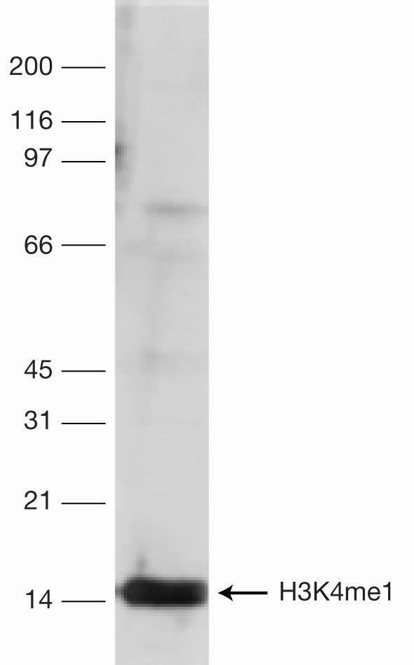 Methyl-Histone H3 (Lys4) Antibody (49-1003)