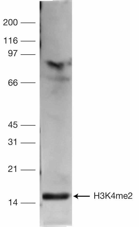 Di-Methyl-Histone H3 (Lys4) Antibody (49-1004)