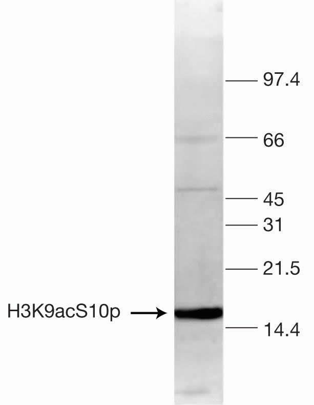 Phospho-Acetyl-Histone H3 (Ser10, Lys9) Antibody (49-1011) in Western Blot