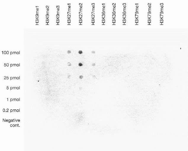 Di-Methyl-Histone H3 (Lys27) Antibody (49-1013) in Dot blot