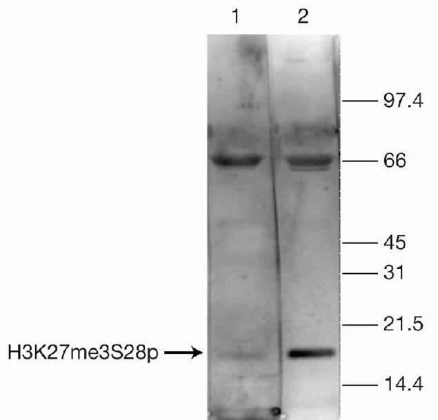 Phospho-Tri-Methyl-Histone H3 (Ser28, Lys27) Antibody (49-1015) in Western Blot