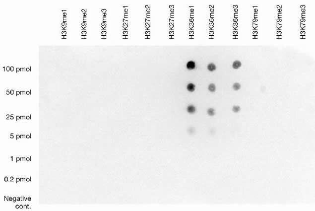 Methyl-Histone H3 (Lys36) Antibody (49-1016) in Dot blot