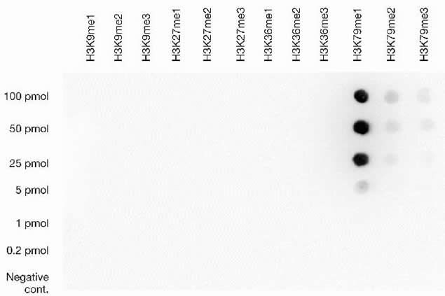 Methyl-Histone H3 (Lys79) Antibody (49-1018) in Dot blot