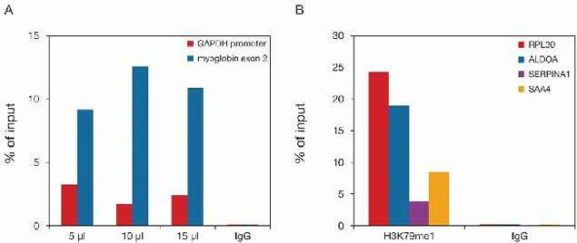 Methyl-Histone H3 (Lys79) Antibody (49-1018) in ChIP assay