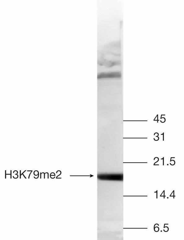 Di-Methyl-Histone H3 (Lys79) Antibody (49-1019)