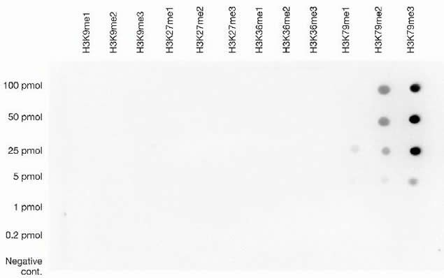 Tri-Methyl-Histone H3 (Lys79) Antibody (49-1020) in Dot blot